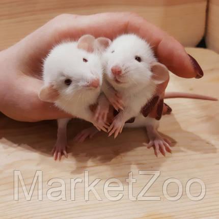 """Крыски дамбо,окрас """"Альбинос""""(белый с красн.глазками),мальчик, 1мес., фото 2"""