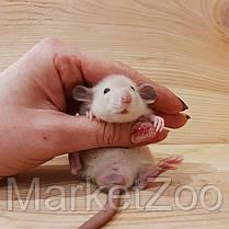 """Крыска дамбо ,окрас """"сиамский"""" с черными глазами,мальчики,1,5мес., фото 3"""