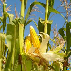 Порумбень МРФ 461 Семена кукурузы