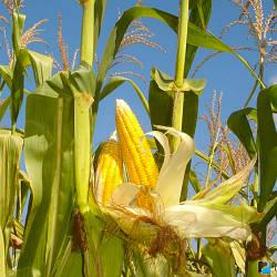 Тесла Семена кукурузы