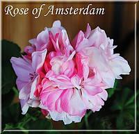 "Пеларгония ""Rose of Amsterdam"" (герань, калачик №15)"