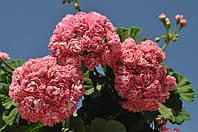 """Пеларгония """"Australian Pink"""" (герань, калачик №59)"""