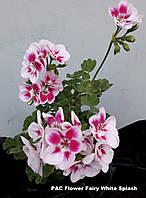"Пеларгония  ""PAC Flower Fairy White Splash"" (герань, калачик №122)"