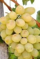 Продажа саженцев и лозы винограда