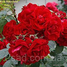 Роза Hansaland® (Хансаланд ®)