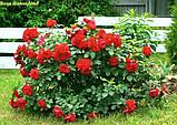 Роза Hansaland® (Хансаланд ®), фото 2