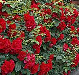 Роза Hansaland® (Хансаланд ®), фото 4