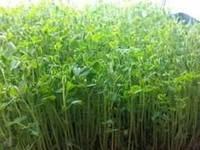 Весовые семена сахарного гороха Пегас ( Очень урожайный и востребован на рынке) на микрозелень