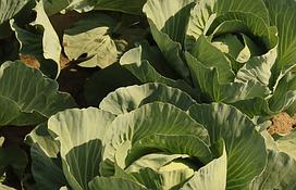 Весовые семена капусты Тюркис на микрозелень