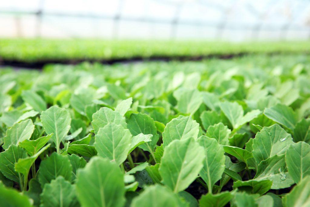 Продам насіння капусти Княгиня Ольга вагові оптом від виробника на мікрозелень