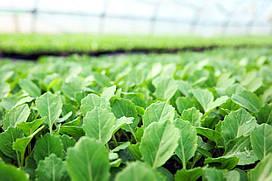 Продам семена капусты Княгиня Ольга  весовые оптом от производителя на микрозелень