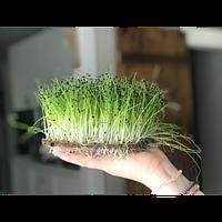 Весовые семена   лука Сноуболл на микрозелень