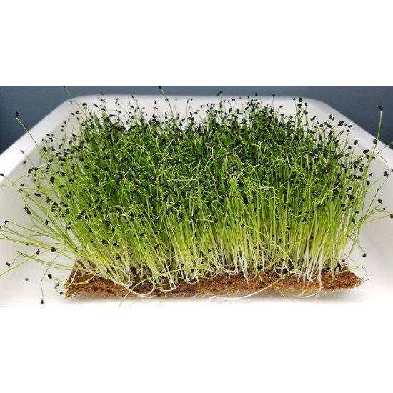 Вагові насіння цибулі Штутгард на мікрозелень