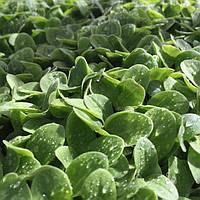 Весовые семена   Зарница очень урожайная выгода на микрозелень
