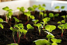 Семена Огурца Обильный  на микрозелень