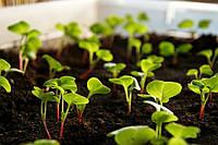 Семена огурца Хабар  на микрозелень