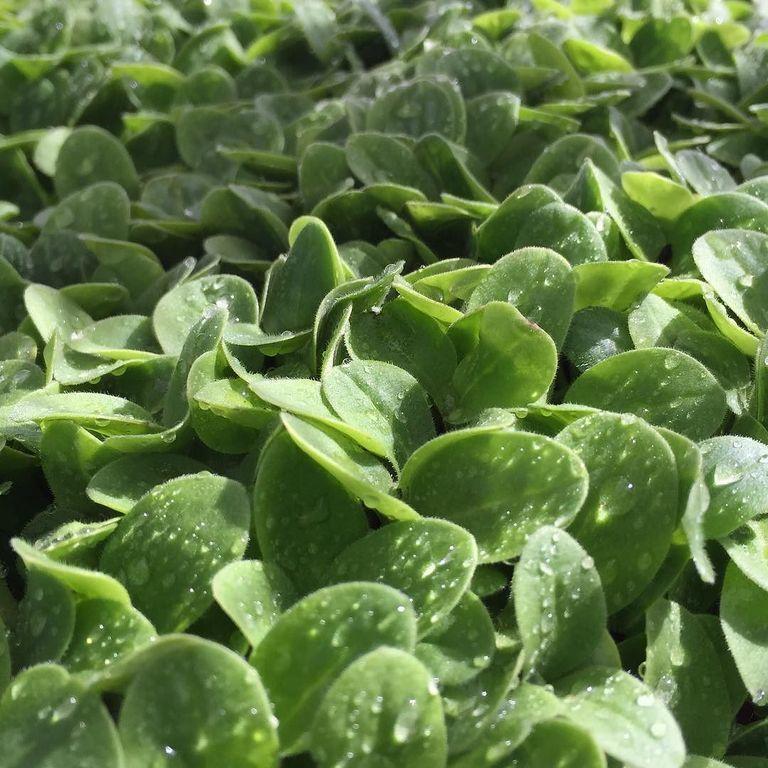 Весовые семена Огурца  Самородок Ф1  на микрозелень