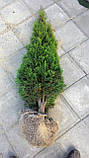 Туя западная Смарагд 170-180см (Thuja occidentalis Smaragd ), фото 3