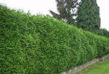 Туя западная Смарагд 170-180см (Thuja occidentalis Smaragd ), фото 2