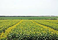 Позакоренева обробка соняшнику агрофірмою ТОВ ЩЕДРИЙ УРОЖАЙ ПОЛТАВЩИНИ (по листу)