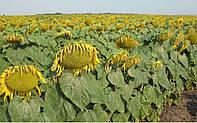 Семена подсолнечника устойчивые к заразихе A,B,C,D,E,F,G.