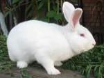 Кролики білий панон - Удача в Киеве
