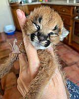 Котёнок Каракал, д.р. 19/03/2020. Питомник Royal Cats. Украина, г. Киев