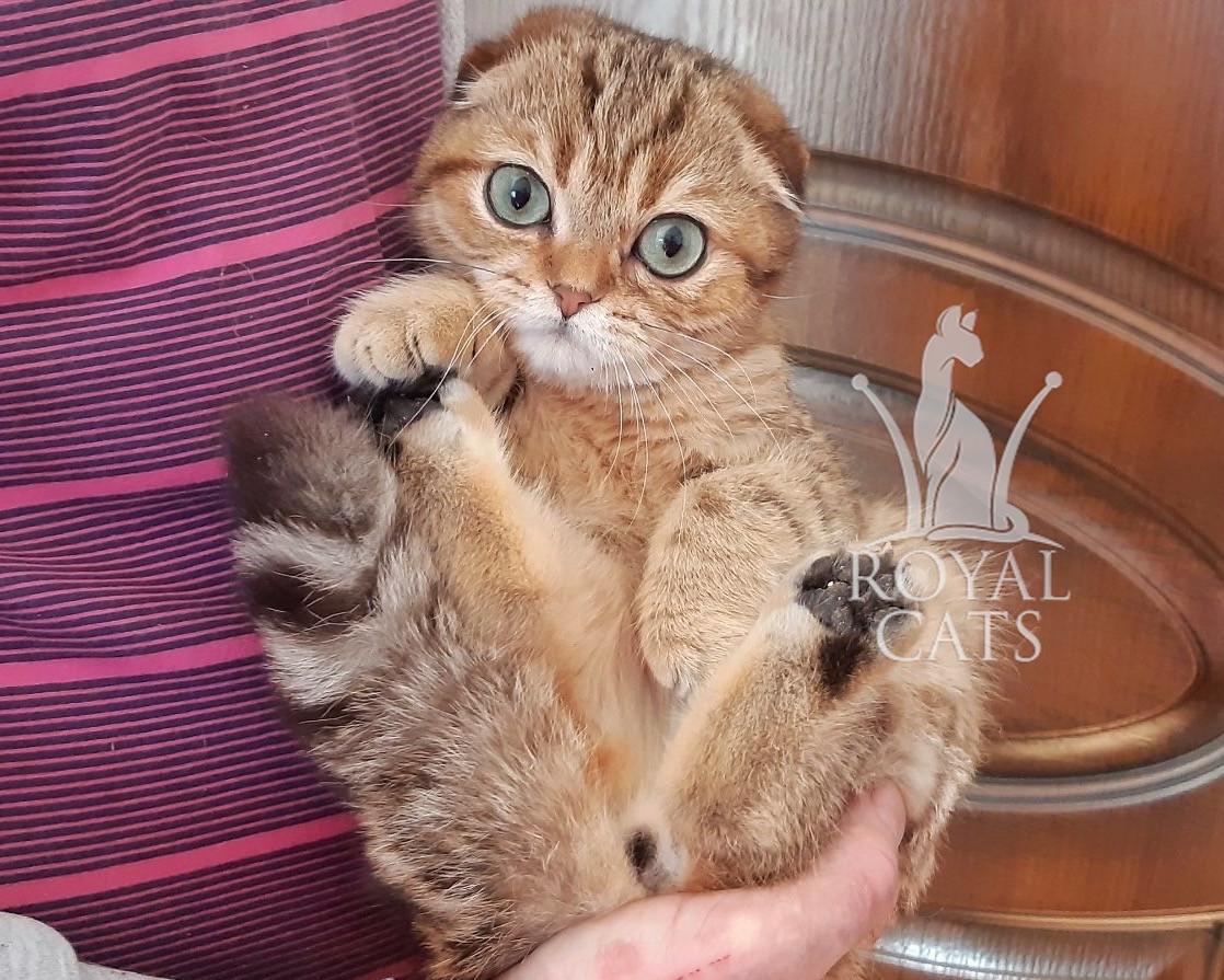 Кошечка шотландская вислоухая шиншилла, рождена 29/11/2019. Питомнике Royal Cats. Украина, Киев