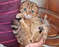 Кошечка шотландская вислоухая шиншилла, рождена 29/11/2019. Питомнике Royal Cats. Украина, Киев, фото 1