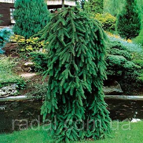 Ель обыкновенная Инверса С2 (Picea Abies Inversa)