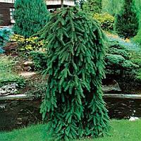 Ель обыкновенная Инверса С2 (Picea Abies Inversa), фото 1
