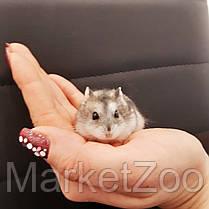 Карликовый джунгарский хомячек, фото 2