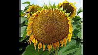 Семена подсолнечника Лакомка (конд.)
