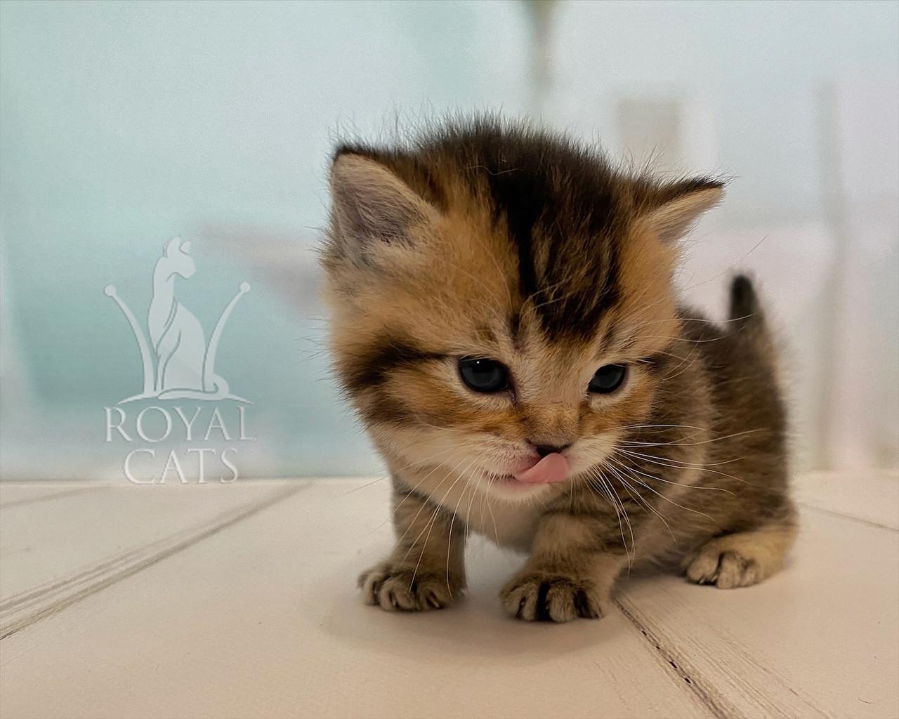 Шотландский прямоухий котёнок, рождён 07/03/2020. Питомник Royal Cats. Украина, г. Киев