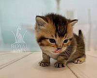 Шотландский прямоухий котёнок, рождён 07/03/2020. Питомник Royal Cats. Украина, г. Киев, фото 1