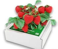 Чудо-ягодница «Домашняя грядка» — для выращивания клубники в домашних условиях,  сказочный сбор дома