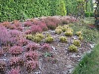 Саженцы и взрослые растения вереска
