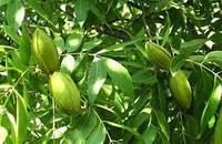 Саженцы ореха пекан Майор (однолетние)