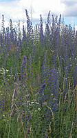 Синяк обыкновенный (синяк звичайний), семена