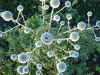 Мордовник шароголовый (крутай, головатень), семена