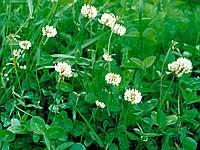 Клевер белый ползучий низкорослый, семена (Новая Зеландия)