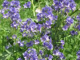 Синюха голубая (синюха блакитна), семена