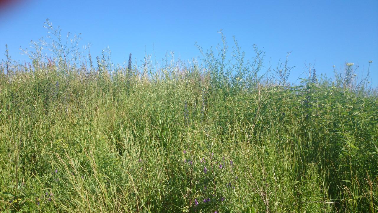 Смесь семян синяка, донника белого, донника желтого (20%/40%/40% ) - семена