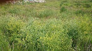 Смесь семян синяка, донника белого, донника желтого (20%/40%/40% ) - семена, фото 2