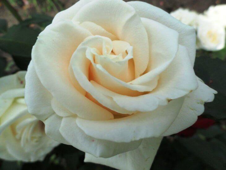 Роза Анастасия привита в горшку
