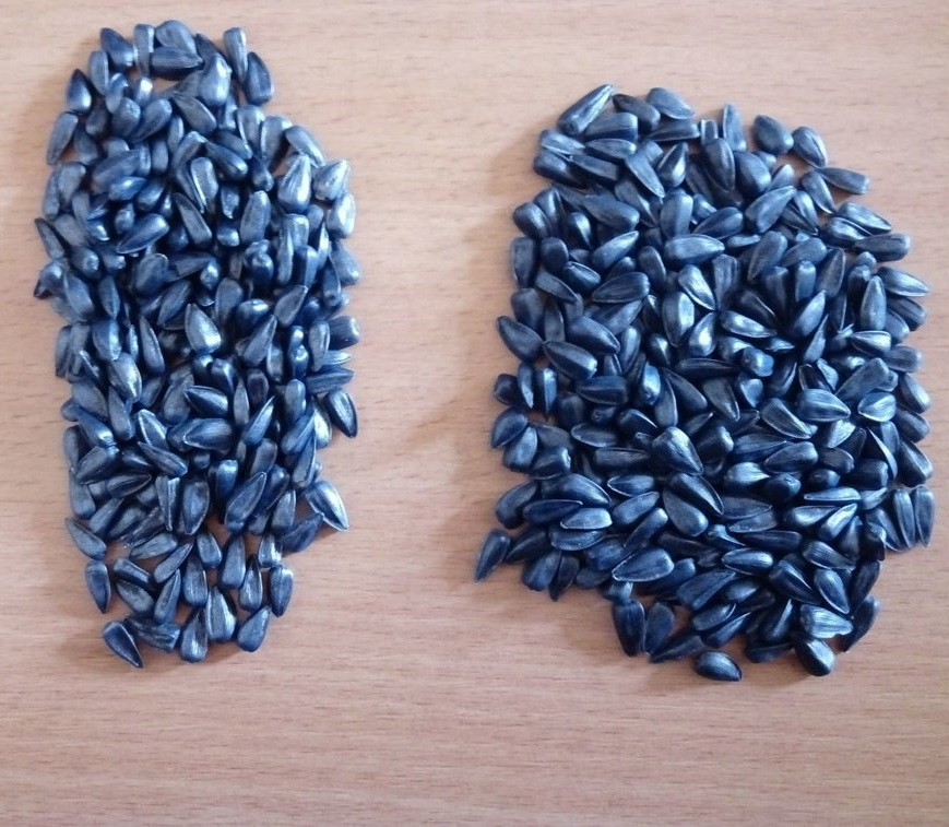 Семена подсолнечника Перформер, Фундуле (Румыния)