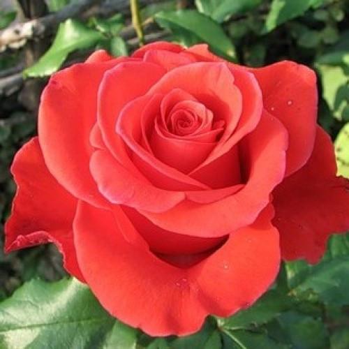 Троянда Корвет. Привита в горшку