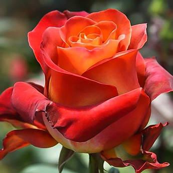 Троянда Кава Брейк. Привита в горшку