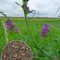 Люцерна (магниченная) насіння 1 кг.