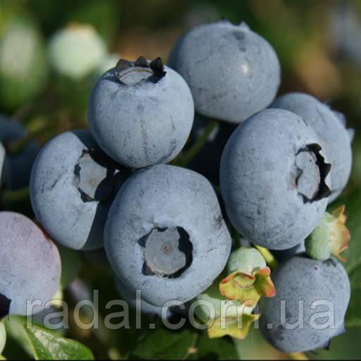 Голубика Торо (Vaccinium Torro )